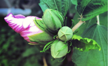 flowerbud-crop